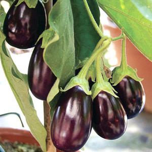 growing-aubergines